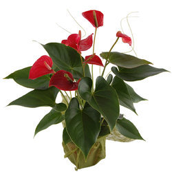 Kwiat doniczkowy Anturium Telekwiaciarnia